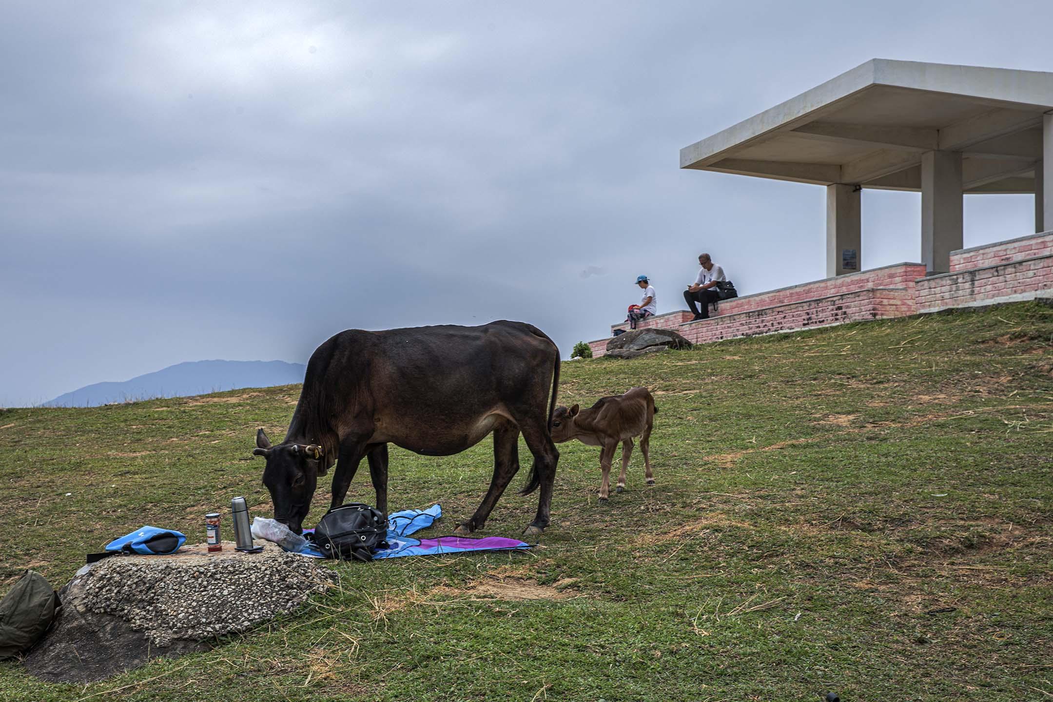 一隻小牛跟著牛媽媽探索遊人的物品。