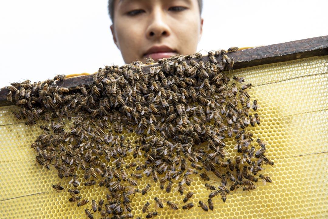 阿驄檢查蜂板,觀察蜜蜂的體型。