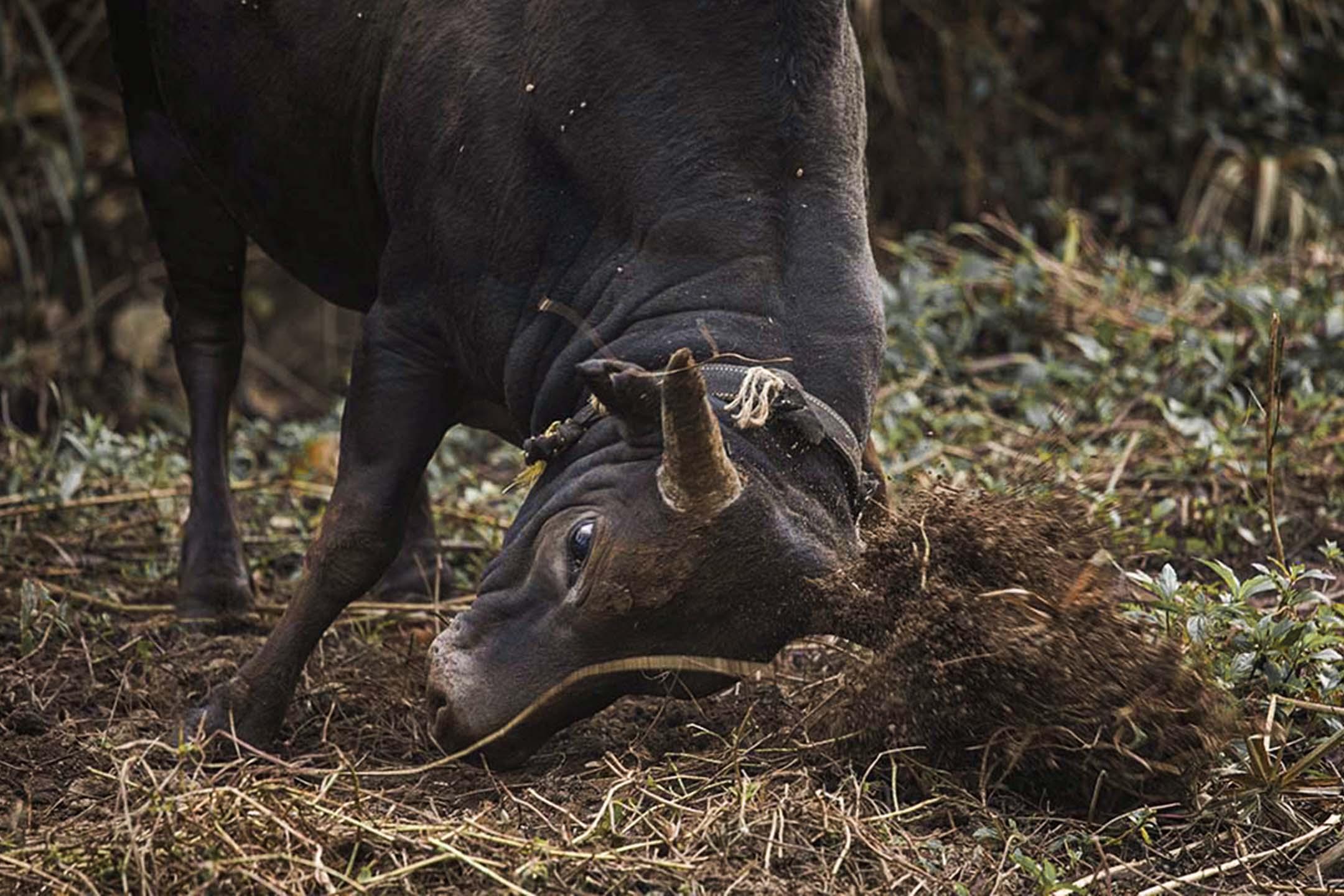 公牛「崩崩」用牛角蹭地上的泥土。