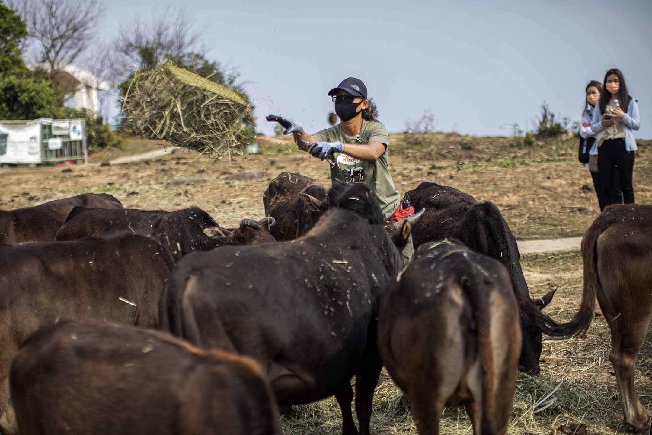 馬草氣味濃郁,嗅覺靈敏的牛群一湧而上。