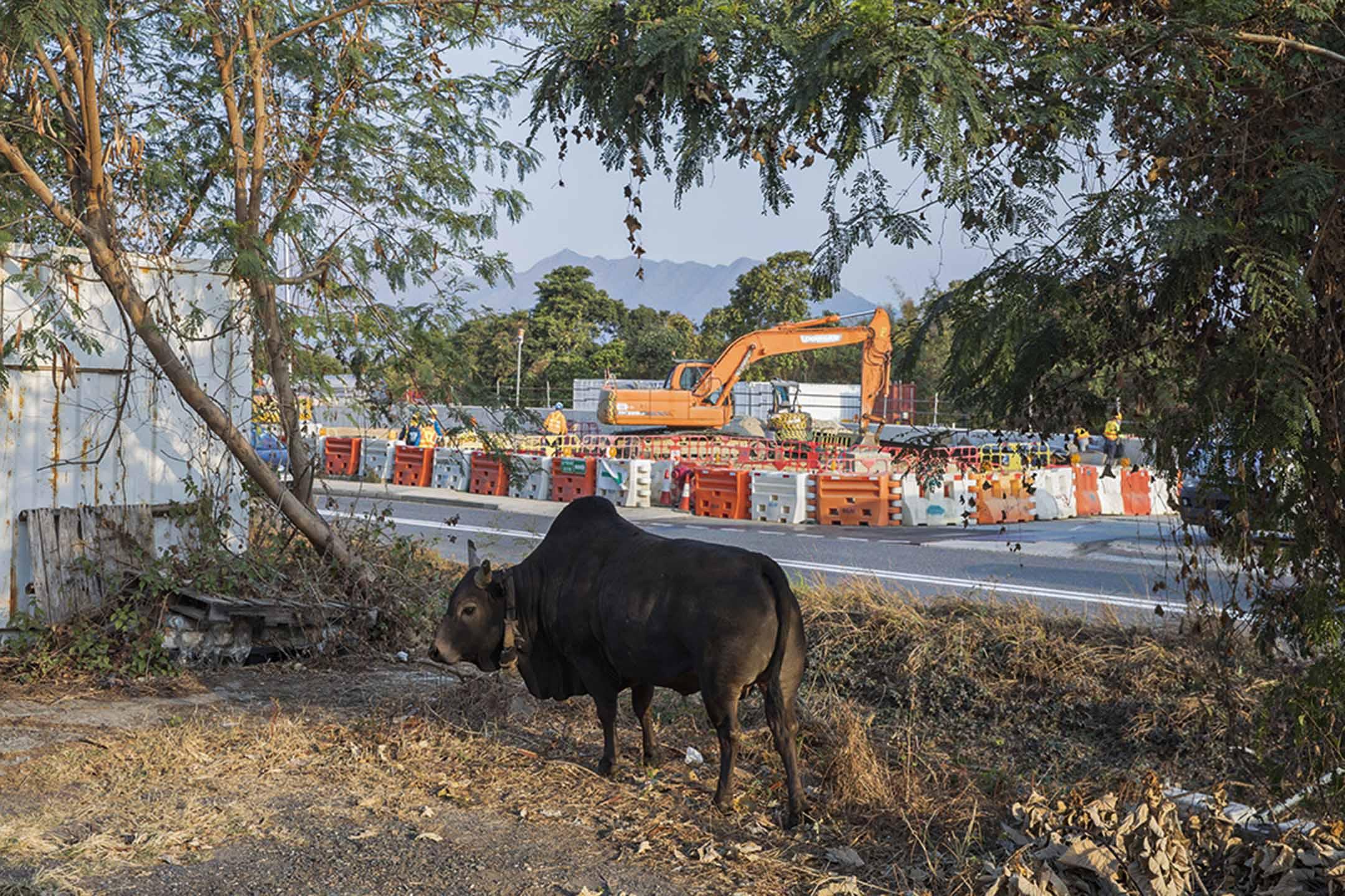 十四鄉十四條村落在西沙路兩旁連在一起,牛群偶爾會橫跨公路過村覓食。