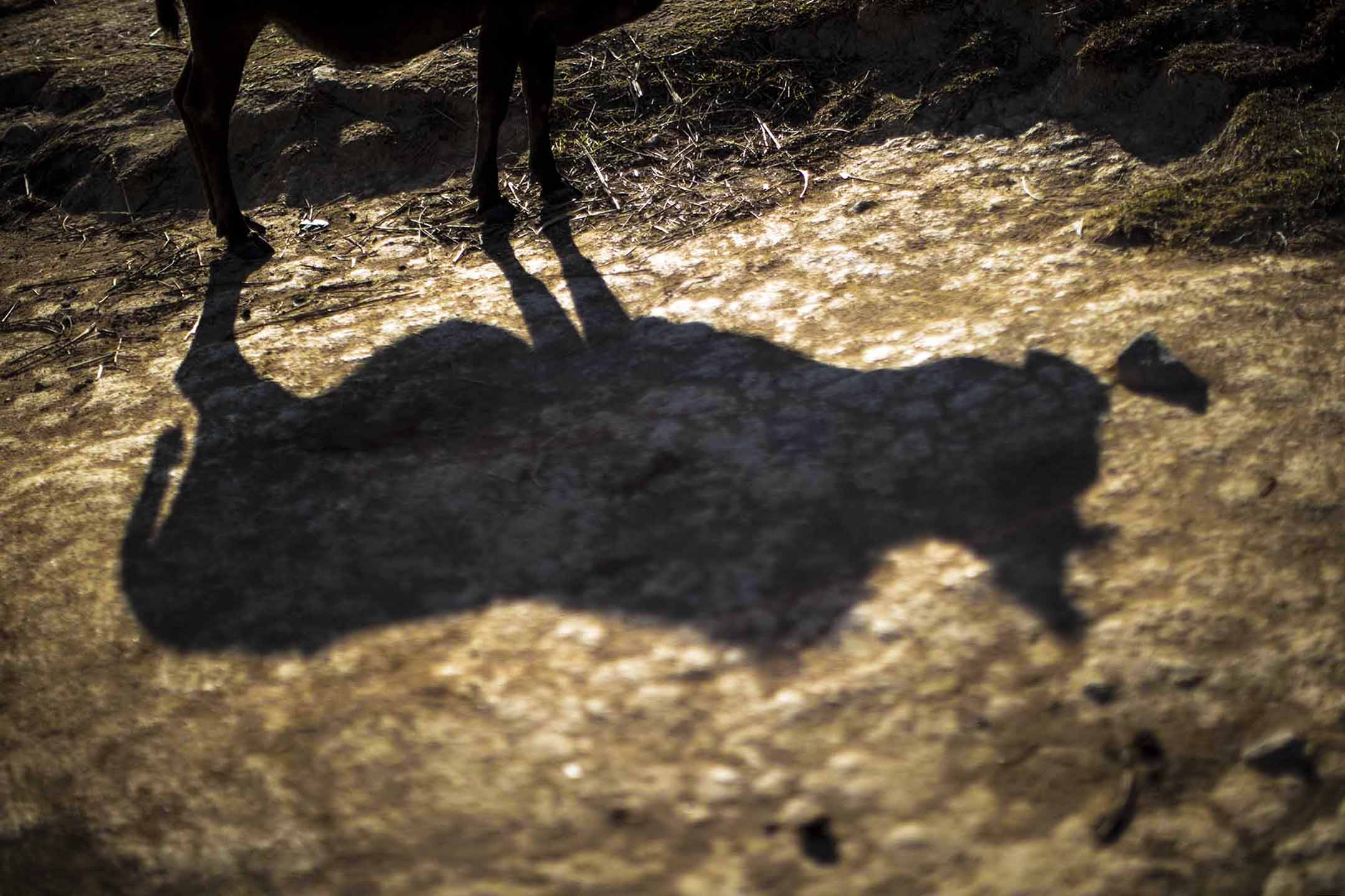 牛的剪影。