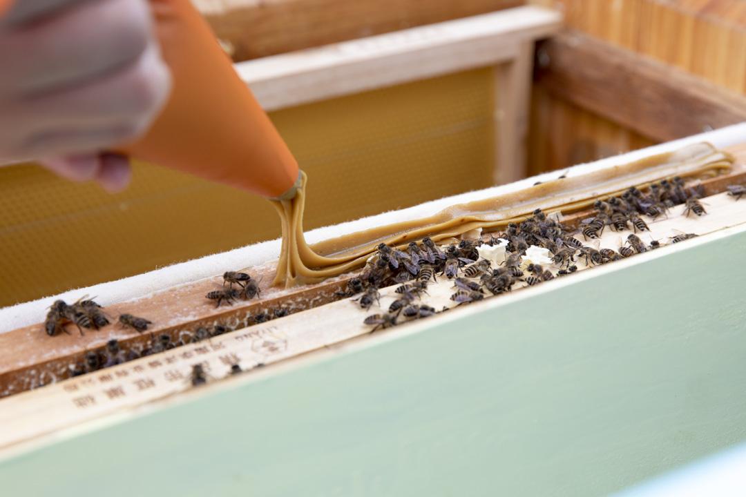 當蜜源不足時,成員就會以花粉和大豆粉調配出蜜蜂飼料餵飼牠們。