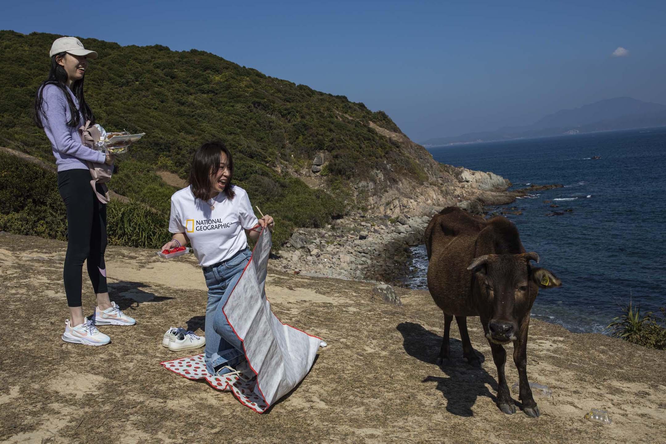塔門島上的牛靠近吃東西遊客。