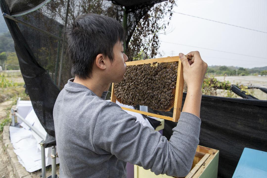 Harry從蜂箱抽出一板「巢脾」,輕輕往蜂巢吹氣,受風壓的蜜蜂們有序地散開。