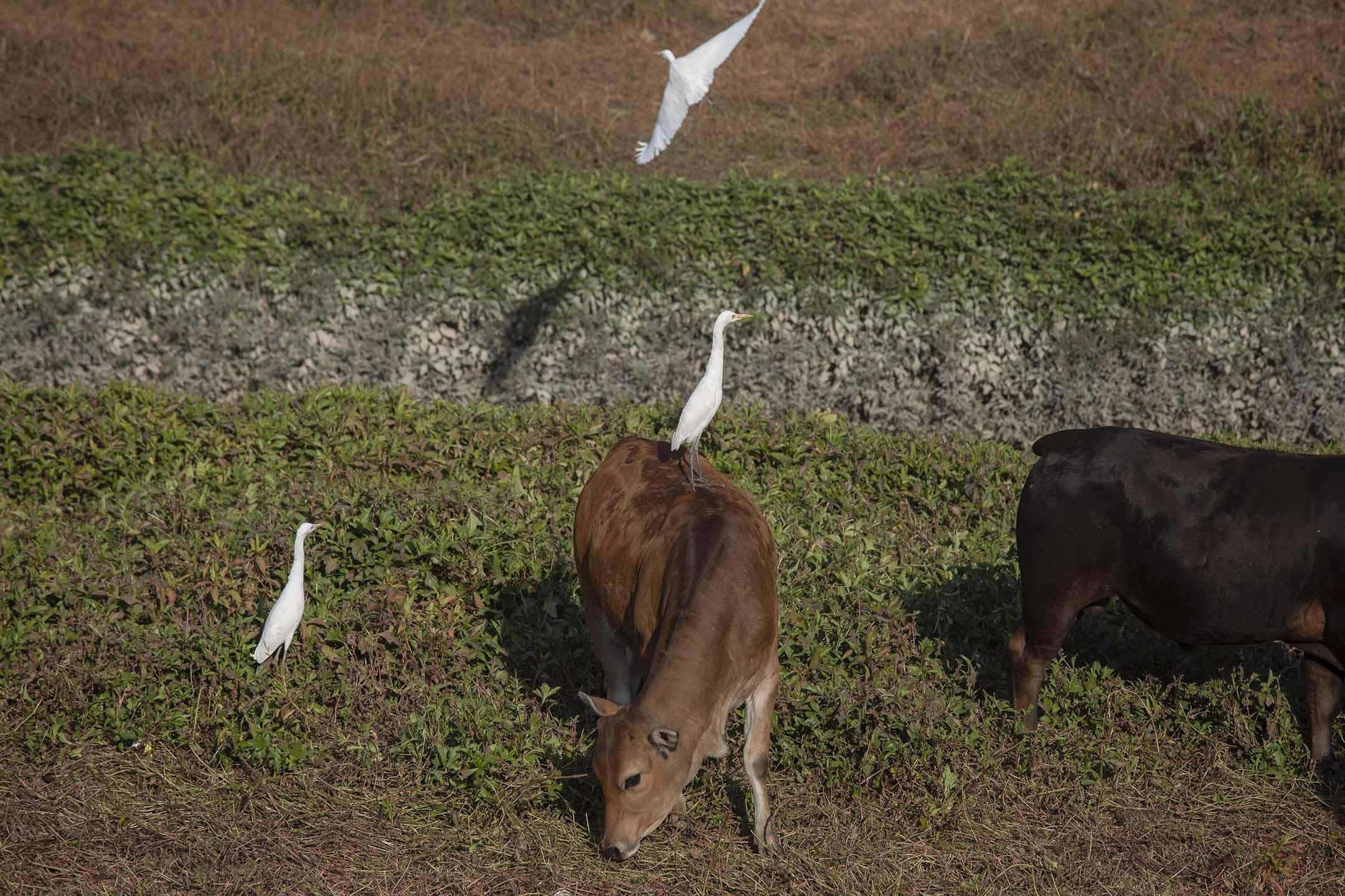 一隻牛背鷺站在一頭牛上。