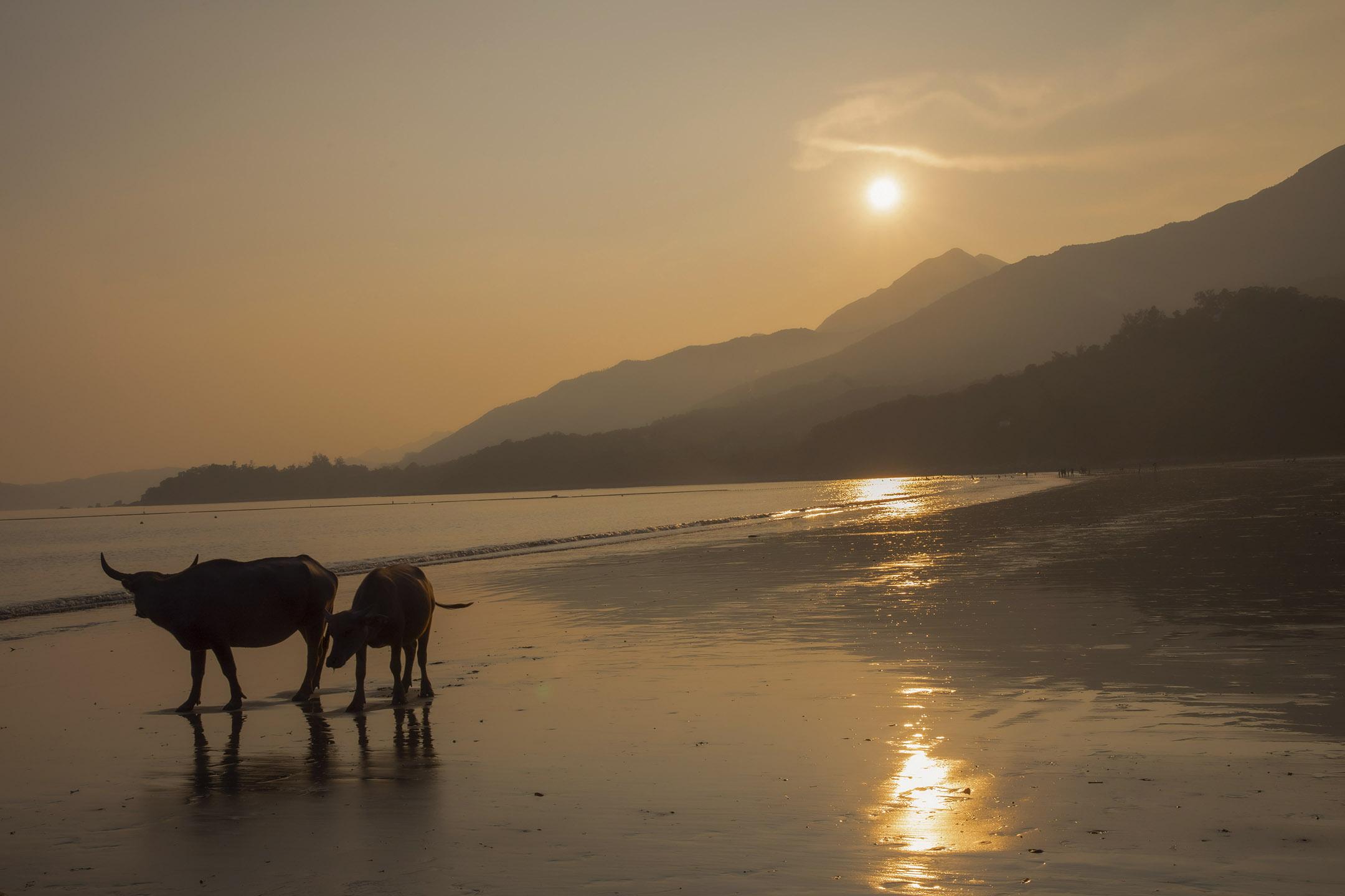 大嶼山長沙,一頭幼牛跟著母牛走過海灘。
