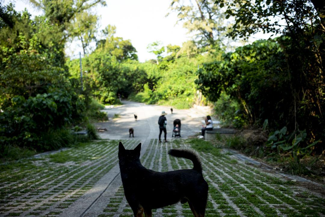 南丫島的狗。